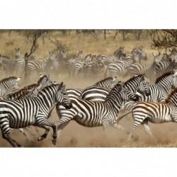 African Zebra Herd Running...